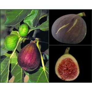 2 3 Year Old Brown Turkey Fig Tree in Growers Pot, 3 Year