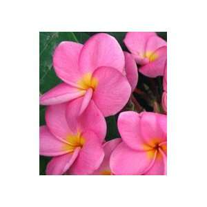 In Pink Plumeria   Frangipani   Rooted Plant. Patio, Lawn & Garden