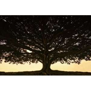 giant fig tree Art Prints & Posters: Home & Kitchen