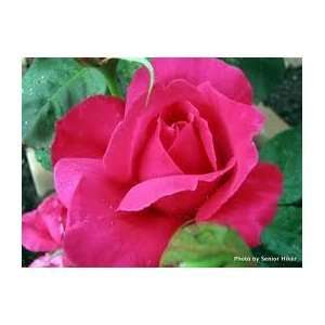 Spellbound 4 rose seeds great color Patio, Lawn & Garden