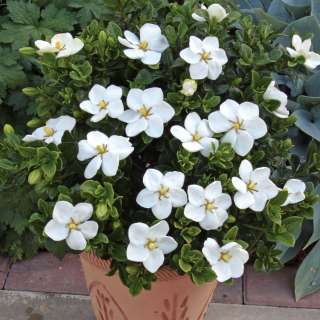 , Shrubs & Ornamentals Shrubs Gardenia jasminoides Kleims Hardy